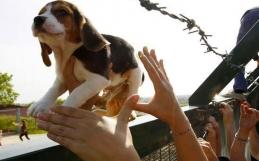 ¡Victoria! Se rescatarán a los animales del laboratorio de España